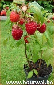 Inheems- en uitheems fruit: Frambozen uitdunnen en leiden (Rubus idaeus).