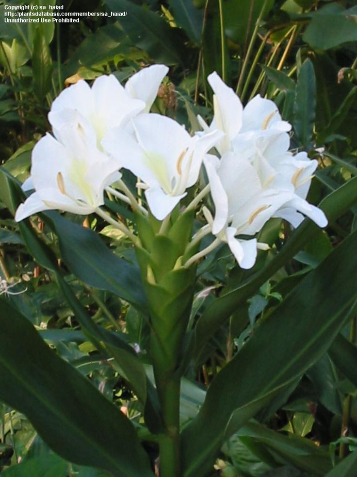 Hedychium Coronarium White Butterfly Ginger Blooming Plants Ginger Plant Grow Butterflies