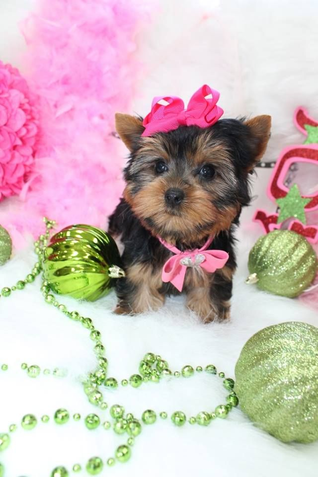 17 Best Images About T Cup Yorkies For Sale In Florida On