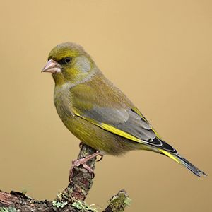 Greenfinch (Grønfink). Sometimes crowding out other birds at the feeder.