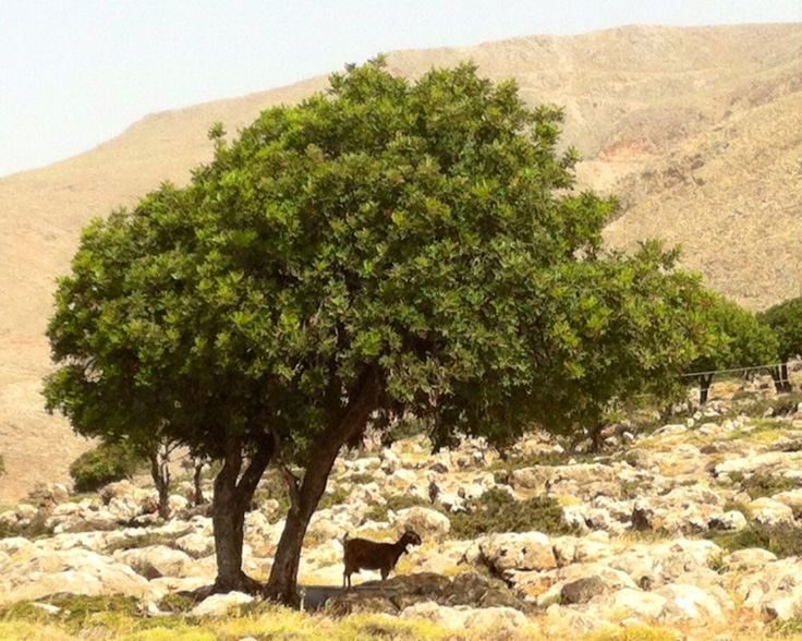 Ged og træ ved Loutro på Kreta.