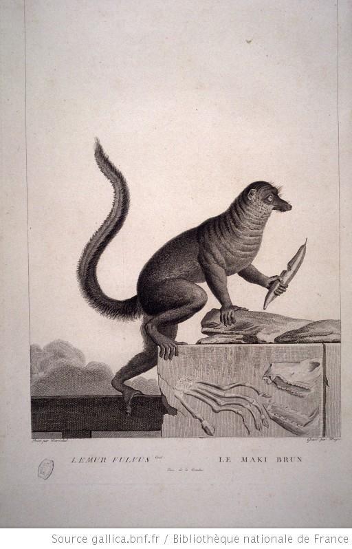 Maki brun, in La Ménagerie du Muséum National d'Histoire Naturelle de Nicolas Maréchal (1808)