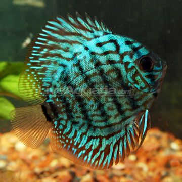 Checkerboard discus 50g min peaceful tropical for Peaceful freshwater fish