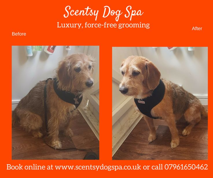 21 best dogs before and after images on pinterest dog grooming luxury dog grooming and spa experience for most breeds of dogs solutioingenieria Gallery