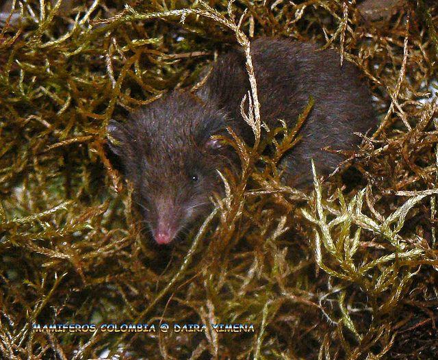 ADW: Rhyncholestes raphanurus: INFORMATION