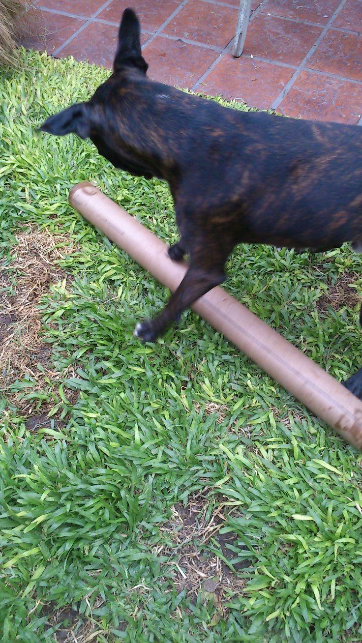 jugando #Rocco #Boxer #Atigrado