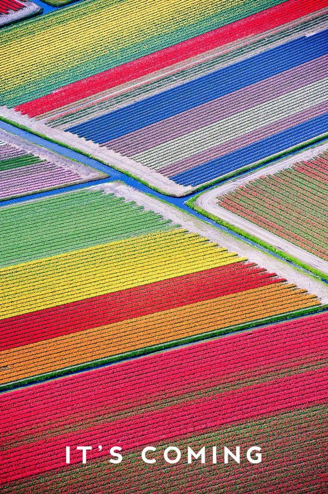 A field of tulips in Holland