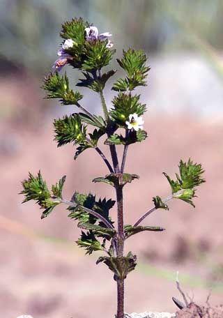 Silmäruohot, Euphrasia - Kukkakasvit - LuontoPortti