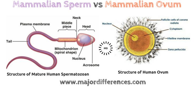 Difference sperm and embryo