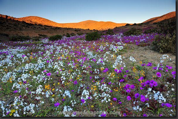 Atacama Desert in bloom.