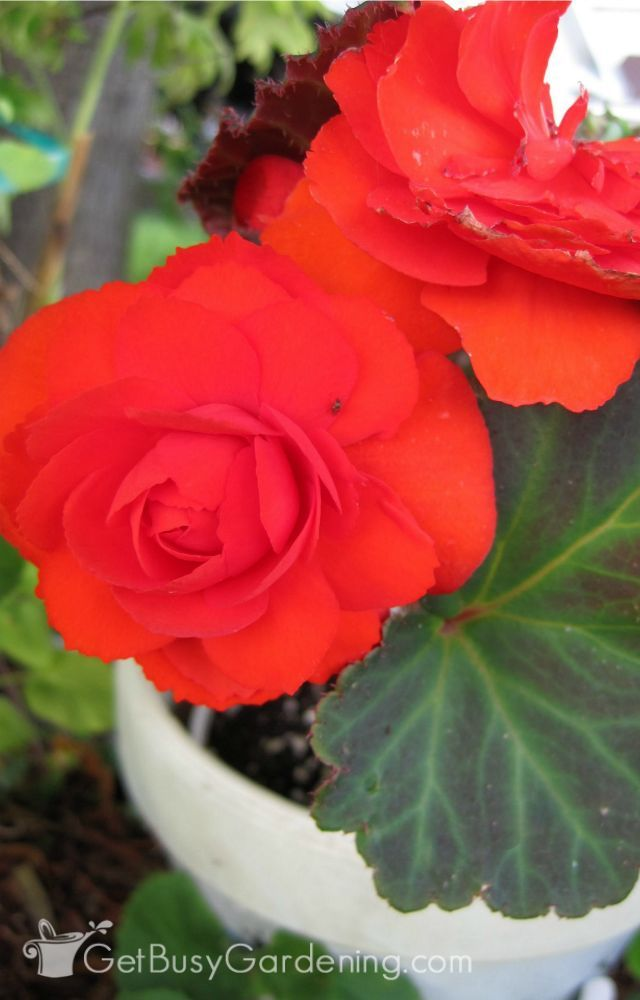 Begonia Plant Care How To Grow Care For Begonias Tuberous Begonia Plants Plant Care
