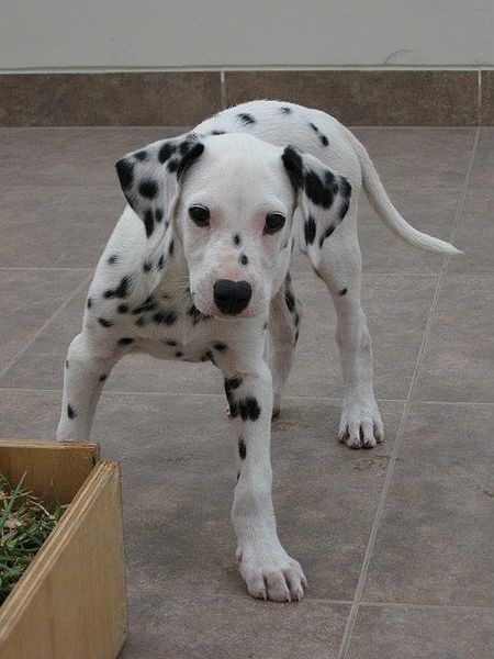 Dalmatian puppy with lovely dark eyes and nice markings, three months old.