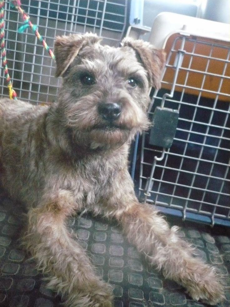Busca Hogar!!!  ROLO es un puro Bogotano, tiene 4 a 5 años, esta soltero, juicioso y compatible con otros perros, además sabe hablar. Lo entregamos vacunado, desparasitado y castrado. Tu pones el hogar, el en cambio te da todo el amor que cabe en su corazón de Schnauzer criollo. INFO: 864 8485 --- 311 803 12 94 o pedir el formulario de adopción al correo: fundacionvivatma.au@gmail.com