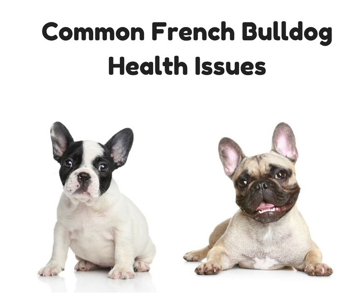 bulldog health issues best 25 french bulldog for adoption ideas on pinterest 3889