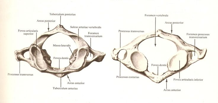 Atlas vertebrae anatomy
