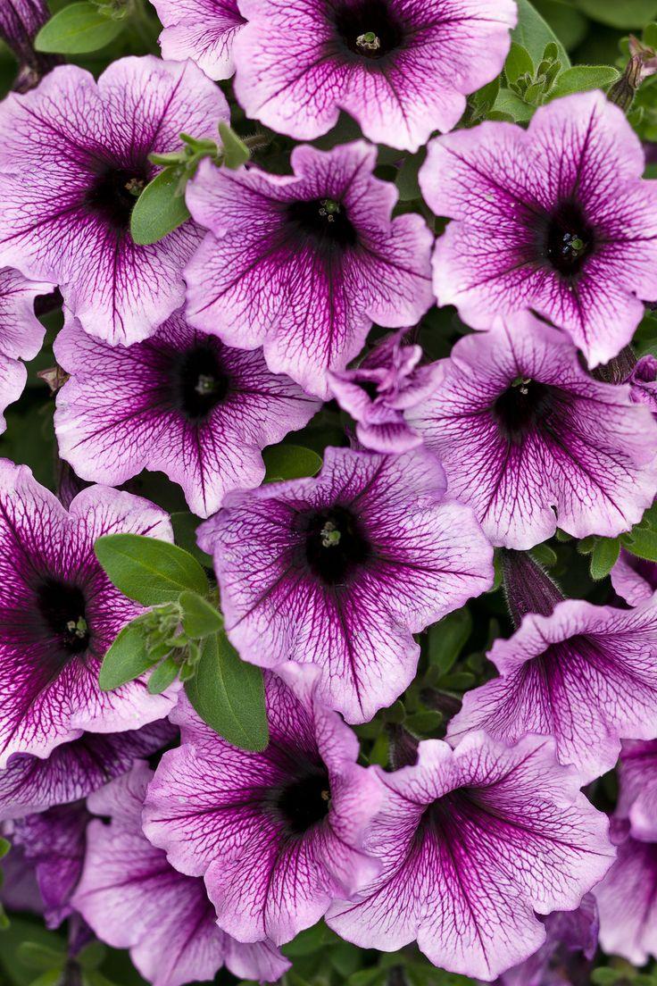 Supertunia® Bordeaux™ - Petunia hybrid