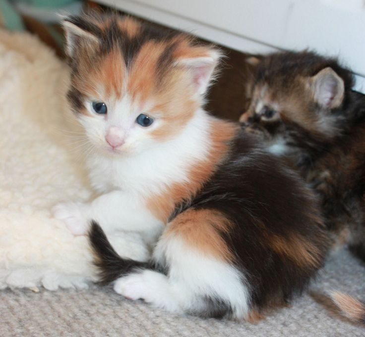 Maine Coon Breeders Delightful Maine Coon Kittens For