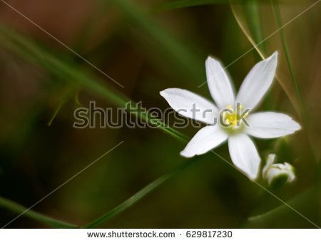 Wild white flower, very soft looking, blurred effect.