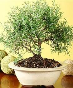 217 best bonsai creations images on pinterest bonsai for Unusual bonsai creations