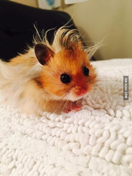 Baby hamster has a bad hair day.
