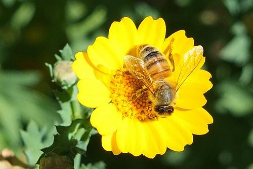 Bee on Paris Daisy_0001.jpg