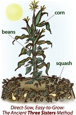 """therevolutionwillnotbefertilized: """" The most popular example of a plant guild. Native Americans came up with this guild. The beans fix nitrogen for the corn and the squash. The corn stalks provide a trellis for the beans to climb up. The squash acts..."""