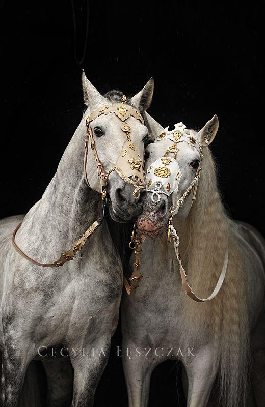 Two Andalusian Stallions Escudero VII & Armas Avellano.        Cecylia Leszczak Fotografia