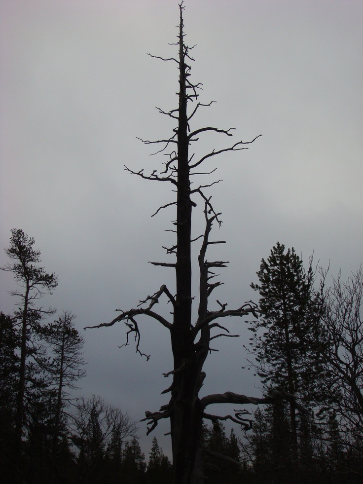 Ghost tree in Lapland