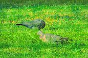 "New artwork for sale! - "" Common Wood Pigeon Columba Palumbus  by PixBreak Art "" - http://ift.tt/2m7uzXq"