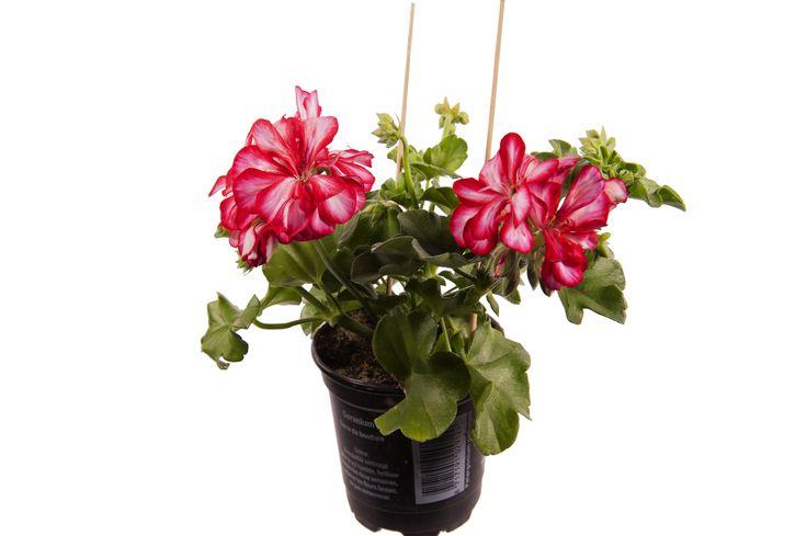 Pelargonium Peltatum Artie red Bicolor