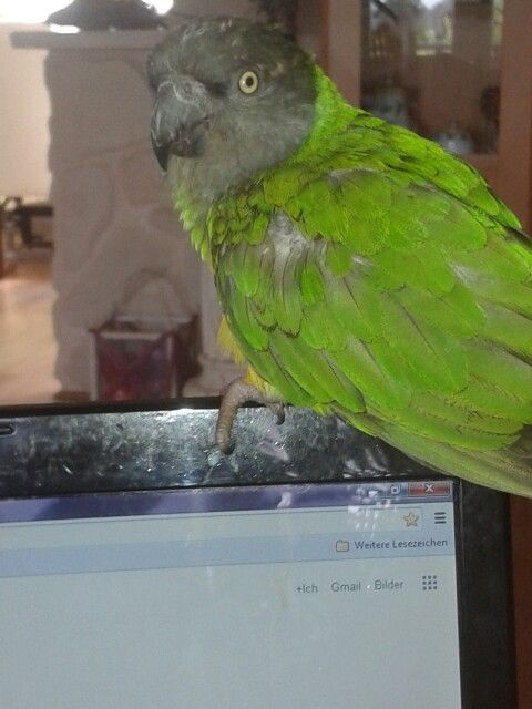 Meine Püppi, Mohrenkopfpapagei / Senegal Parrot Papagei Vogel