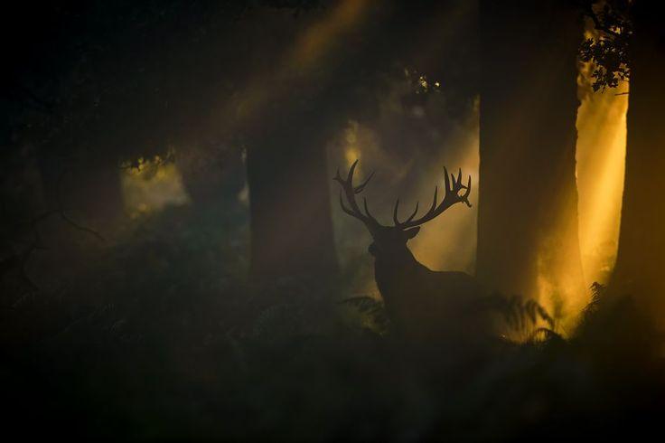 Félix Morlán González Spain Red deer under the sun lights