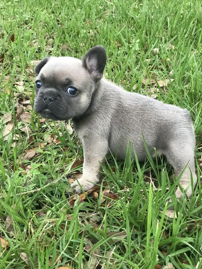 Gorgeous Frenchie S French Bulldog Puppies