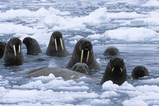 Pole to pole: Daniel J Cox photographs Arctic polar bears and penguins in   Antarctica.