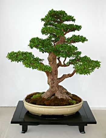 17 best images about bonsai on pinterest trees bonsai. Black Bedroom Furniture Sets. Home Design Ideas