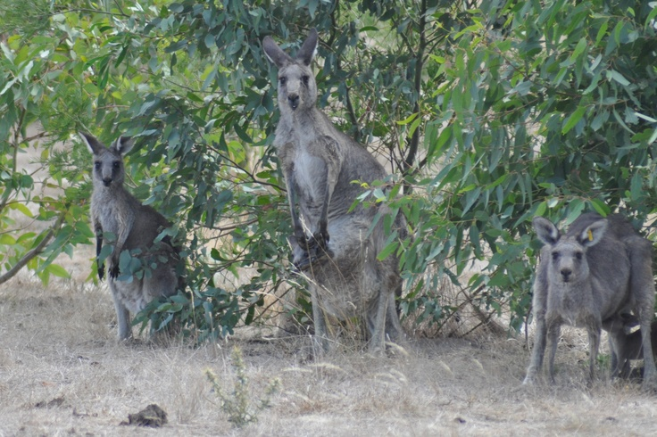 See the mother kangeroo in the center with a joey in her pouch!  Melbourne, Australia