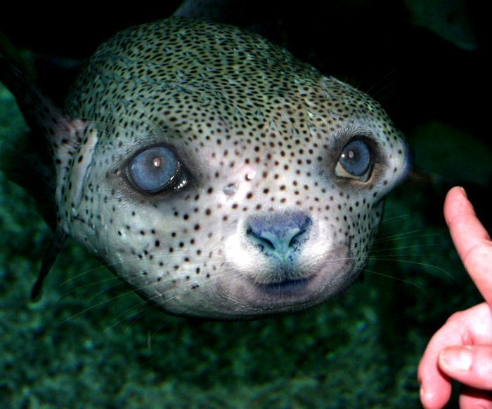 17 best images about beauty and the blowfish puffer fish for Water dogs fish