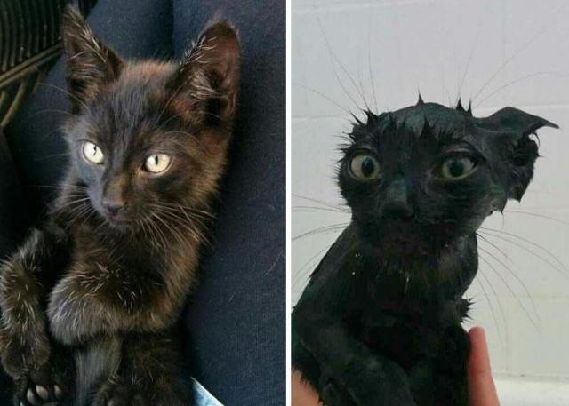 Zabawne zdjęcia kotów przed i po kąpieli - te miny mówią same za siebie [GALERIA]