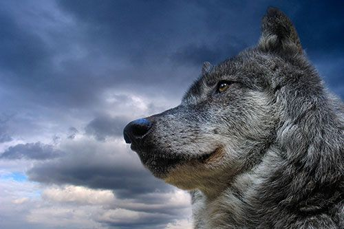 Wolves play a large part in Native American cultural practices, legends, mythology, and folklore.