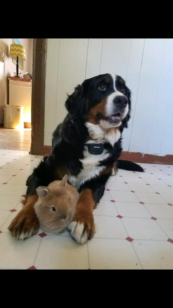 My Burmese mountain dog seems to be taking a liking to the lil guy http://ift.tt/2mxLKkL