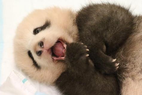 Comment prononcer Tian Bao, le prénom du bébé panda de Pairi Daiza - lesoir.be