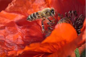 BELLEZAS DE ABEJAS EN IMAGENES - BEAUTY OF BEES IN IMAGES.
