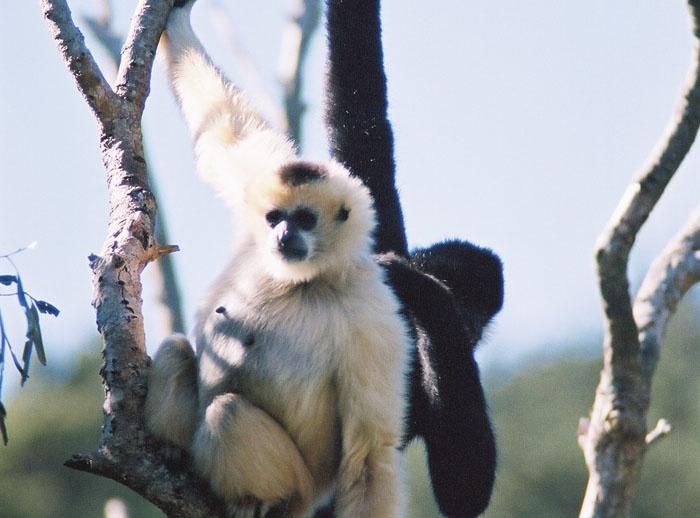 Wellington Zoo - White Cheeked Gibbon