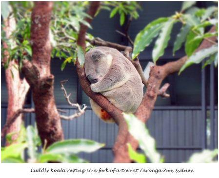Monday Blue Koala Bear @ Taronga Zoo - Sydney