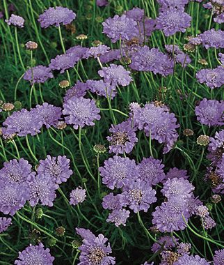 Scabiosa 'Butterfly Blue' -- this is a fabulous performer in my garden.  Blooms all summer and even was sending up a few blooms into November.  I have mine in really poor, dry soil & it does great.  Can't wait to buy more of these next year.