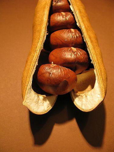 Moreron Bay Chestnut Pod - Castanospermum australe