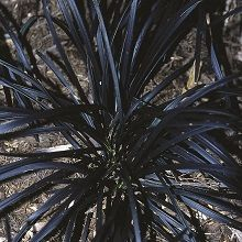 Black Mondo Grass for sale buy Ophiopogon planiscapus 'Kokuryu'