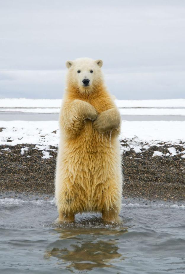 北極の王者シロクマが魅せるシロクマ踊りの写真5枚 - DNA