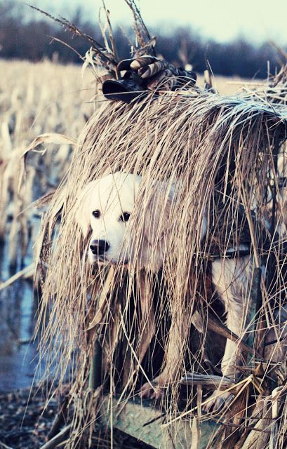 Duck dog (golden retriever) - Duck Hunting----looks like a little girl we know....Nellie