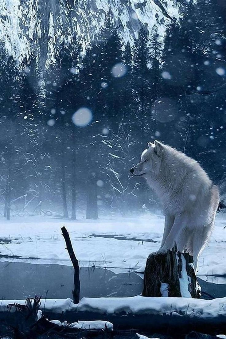 картинки белого волка на снегу литературные